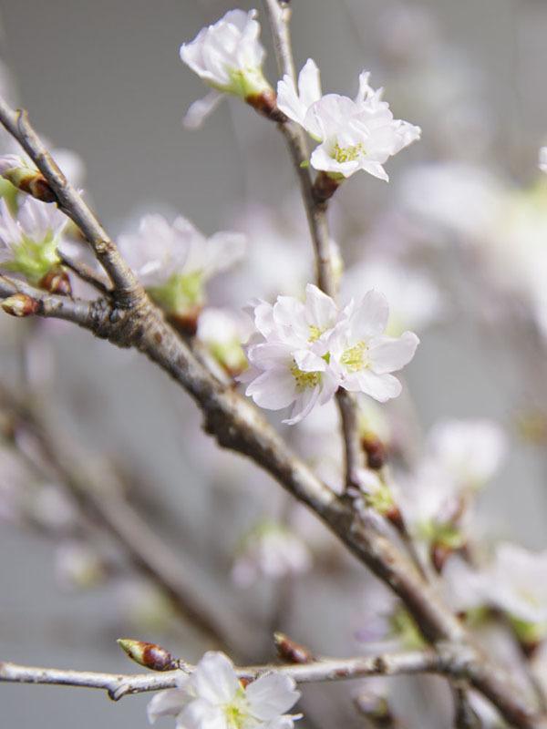 やまだの啓翁桜